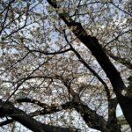 桜のシーズン到来ですヽ(^。^)ノ  楽しくなったウオーキング